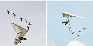 """法国男子与天鹅一起飞翔15年,被称为""""鸟人"""""""