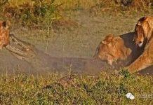 鳄鱼偷袭狮子不成 反而命丧狮口